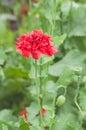 Single poppy flower Royalty Free Stock Photo