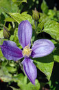 Single purple clematis flower closeup of one petaled against a leafy background in summer Stock Photography
