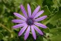 Single purple flower Royalty Free Stock Photo