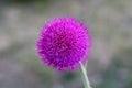 Single purple flower head Royalty Free Stock Photo
