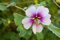 Single Purple Hibiscus Royalty Free Stock Photos