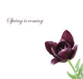 Single purple tulip with leaves on white Royalty Free Stock Photo