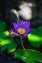 Single purple water lily flower in a small pond. Royalty Free Stock Photo