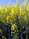Single rape seed flower Stock Photos