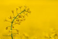 Single rape seed plant against yellow crop Royalty Free Stock Photo