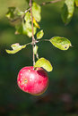 Single red apple on tree Royalty Free Stock Image