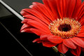 Single red gerbera Stock Photo