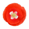 Single red poppy flower Royalty Free Stock Photo