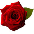 Single red rose in a square Royalty Free Stock Photo