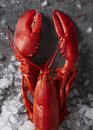 Single red steamed maine lobster on ice Royalty Free Stock Photo