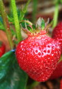 Single Red Strawberry Royalty Free Stock Photo