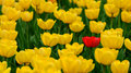 Single red tulip in field of yellow Royalty Free Stock Photo