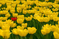 Single red tulip in field of yellow Stock Photos
