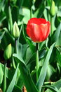 Single Red Tulip Flower Royalty Free Stock Photo