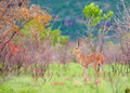 Single Reedbuck (Redunca arundinum) Royalty Free Stock Images