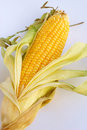 Single ripe corn cob Stock Photography
