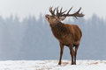 Single roaring adult deer with big beautiful horns on snowy field on forest background