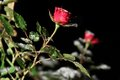 Single Rose in the snow at night Royalty Free Stock Image