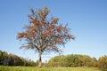 Single rowan tree Royalty Free Stock Photo