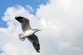 Single sea gull flying against background of blue sky Royalty Free Stock Photo