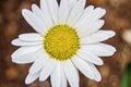 Shasta Daisy flower bloom Royalty Free Stock Photo