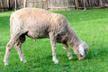 Single sheep eating the grass Stock Photo