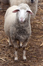 Single sheep little at the farm yard Royalty Free Stock Image