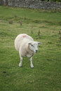 Single sheep standing in meadow close up Royalty Free Stock Photo