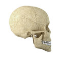Single skull Stock Images