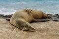 Single Sleeping Sea Lion on Rocks Royalty Free Stock Photo