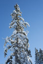 Single snow covered tree against deep blue sky Royalty Free Stock Photo