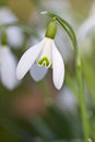 Single spring snowdrop flower Stock Image