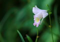 A single stalk of wild orchid Royalty Free Stock Photo