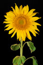 Single sunflower Royalty Free Stock Photo