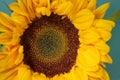 A single sunflower Royalty Free Stock Photo