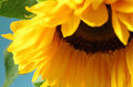A single sunflower Royalty Free Stock Photo