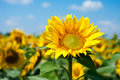 Single sunflower on the field Royalty Free Stock Photo