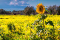 Single sunflower field over field of blossom flowers Royalty Free Stock Photo