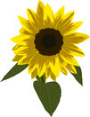 Single sunflower illustration Royalty Free Stock Image