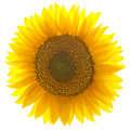Single sunflower isolated on white background Royalty Free Stock Photo