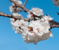 Single sungold apricot prunus armerniaca blossom against blue sky Royalty Free Stock Photo