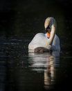 Single swan and cygnet Royalty Free Stock Photo