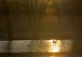 Single swan at sunrise Royalty Free Stock Photo
