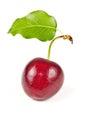 Single sweet cherry Royalty Free Stock Photo