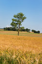 Single tree in agricultural field france Royalty Free Stock Photos