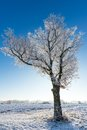 Single tree with branches covered by frost in front of sun Royalty Free Stock Photo