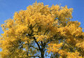 Single Tree In Gold Autumn Colour Stock Images