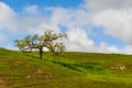 Single tree on a hill with short grass stepped hillside grassy field and oak Stock Photography