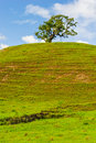 Single tree on a hill with short grass stepped hillside grassy field and oak Royalty Free Stock Image