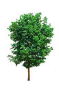 Single tree isolate green and white background Stock Image